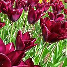 Majestic Tulips by John Thurgood