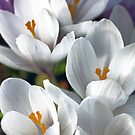 White and Lavender Crocus by T.J. Martin