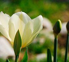 Yellow Tulips and Buds by jojobob