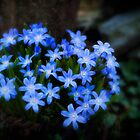 Beautiful Blue Spring Flower by KellyHeaton
