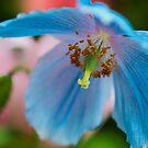 Himalayan Blue Poppy by KellyHeaton