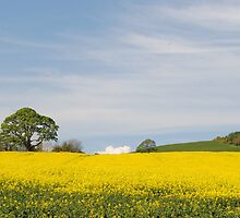 Rapeseed Field with a tree by Sarah Cowan