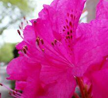 Azalea Pink by Vanessa  Hayat