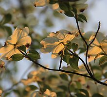 Dogwood Sunset 2 by NatureGreeting Cards ©ccwri