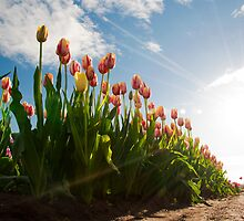 TULIPS by Alexphotospdx