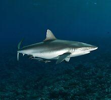 Master Grey Reef Shark by Valerija S.  Vlasov