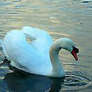 Mute Swan 2 by Meladana