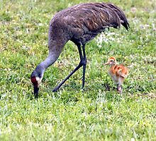 SANDHILL CRANE & CHICK by TomBaumker