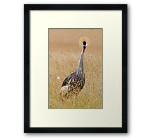 Grey Crowend Crane Framed Print