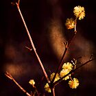 Wattle Flowers  by Deborah McGrath
