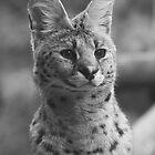 Serval by hannahelizabeth