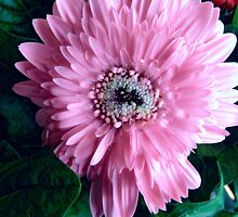 Pink Gerbera Daisy by James Brotherton