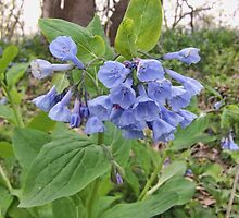 Virginia Bluebells by James Brotherton