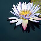 The Water Lily by David K. Sutton