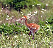 SANDHILL CRANE CHICK by TomBaumker