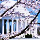 Jefferson Memorial Cherry Blossoms  by fatdogcreatives