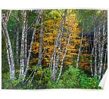 It's All About The Colors ~ Alder Trees ~ Poster