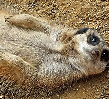 Meerkat (2) by Hayley Musson