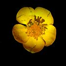 Buttercup  by larry flewers