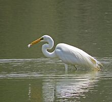 Great Egret ... successful catch by mosaicavenues