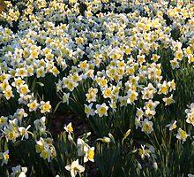 Mottled Daffodils by Adam Bykowski