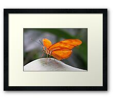 Close-up Julia Butterfly - Dryas iulia Framed Print