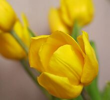 Yellow Tulips.. by NaturesTouch