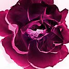 Deep pink rose by shalisa