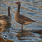 Greylag Geese - With Thanks to Jamie. by Glen Allen