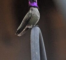 ONE BEAUTIFUL AND PROUD HUMMINGBIRD by JAYMILO