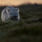 Wombat by Garth Smith