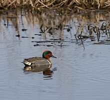 Drake Green-winged Teal 2 by Thomas Young
