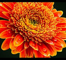 Macro Flower #1 by amira