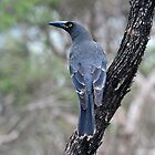 Grey Currawong taken at the Stirling Ranges NP in WA by Alwyn Simple