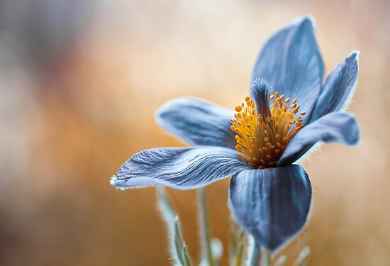 Pasque flower by Mandy Disher