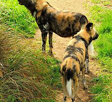 African Wild Dogs  by Barnbk02