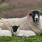 Ewe & lambs by M.S. Photography & Art