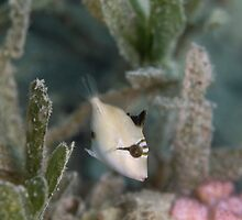 Baby Triggerfish by Valerija S.  Vlasov