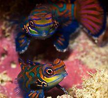 Mandarinfish Pair by Valerija S.  Vlasov