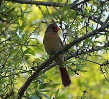 Female Cardinal in Spring by JSchettino22