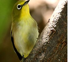 South African Bird (Cape White-eye, Zosterops pallidus) by Qnita
