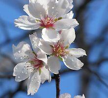Almond Blossom 1 by JulieAP13