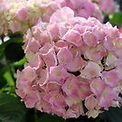 Hortensia in Full Bloom by karina5