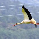 Stork In Flight by taiche