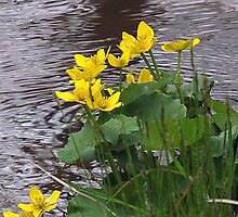 Marsh Marigolds by Rusty Katchmer