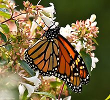 Autumn Monarch Butterfly feeding on Blossoms by Lee Hiller