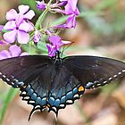 Dark Female Eastern Tiger Swallowtail Butterfly on Phlox by Lee Hiller