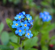 Forget-me-nots by kchase