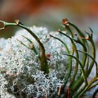 tantacles lichen by Manon Boily