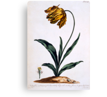 Tulip with Anoding Flower and Spear Shaped Leaves Canvas Print